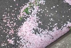 ピンクの桜の花ビラ